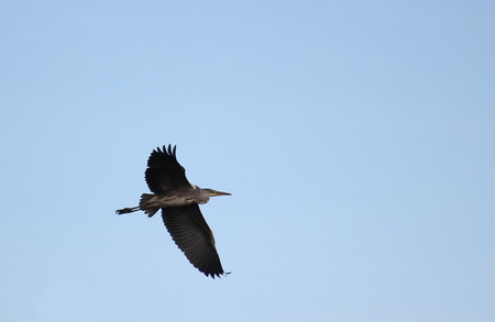 ardeidae: Gray Heron (Ardea cinerea) in flight with blue sky. Stock Photo