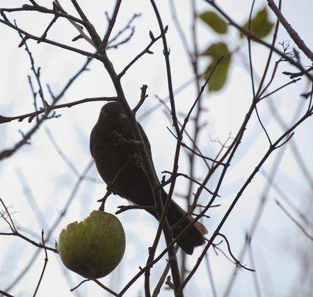 turdus: Female common blackbird (Turdus merula) sitting on a bare tree with an apple. Stock Photo