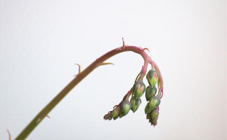 inflorescence: Inflorescence of a succulent plant on white background.