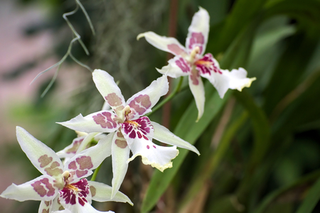 star shaped: Three Star shaped blossoms of an orchid.