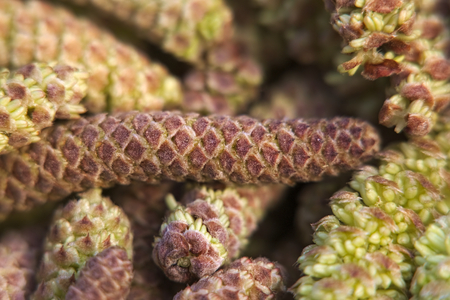 hazel: Extreme close up of Catkins from hazel trees (Corylus). Stock Photo