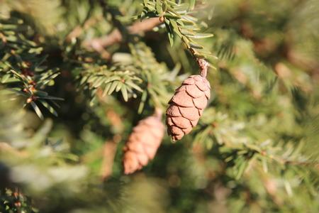 Hemlock spruce (Tsuga heterophylla) with cones.