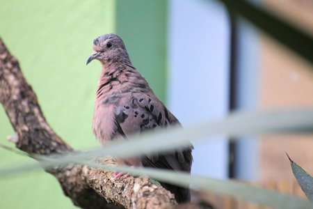 sitting on the ground: Ecuadorian ground dove (Columbina buckleyi) sitting on a tree. Stock Photo