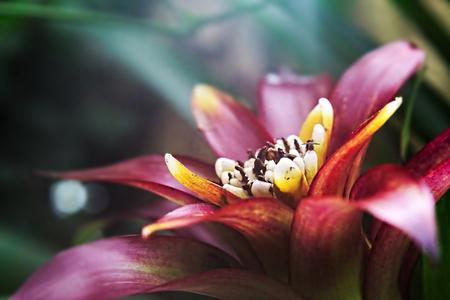 guzmania: Blossom of a tufted airplant species (Guzmania).