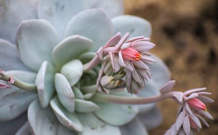 mimicry: Blossoms of the mimicry plant Pleiospilos longibracteatum. Stock Photo