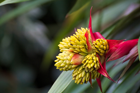 tufted: Blossom of a tufted airplant species (Guzmania).