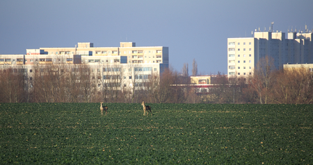 capreolus: Roe deer (Capreolus capreolus) couple on rapeseed field in front of suburb of Greifswald, Germany. Stock Photo