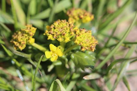 vulgaris: Flowering yellow rocketcress (Barbarea vulgaris) macro shot.