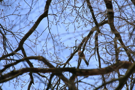 corvidae: Eurasian jay (Garrulus glandarius) sitting in a tree.