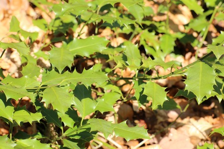 ilex aquifolium holly: Common holly (Ilex aquifolium) leaves in sunlight . Stock Photo