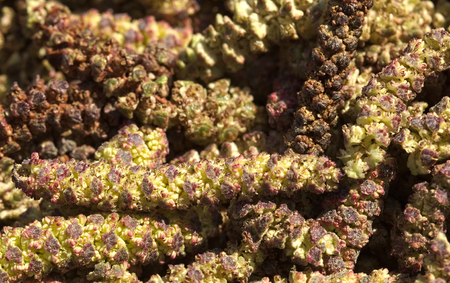 yellow alder: Macro shot of male alder catkins in spring. Stock Photo