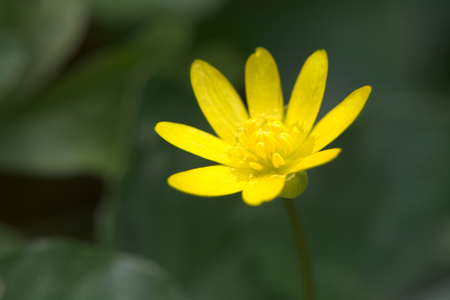 contrast: Fig buttercup (Ficaria verna) in high contrast image.