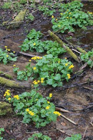 palustris: Marsh marigold or kingcup (Caltha palustris) with blossoms.