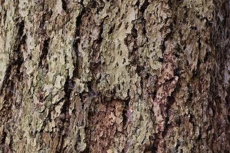 pinaceae: Macro of an eroded conifer bark with holes. Stock Photo