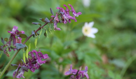 cava: Corydalis cava, a species of fumewort, with blossoms. Stock Photo