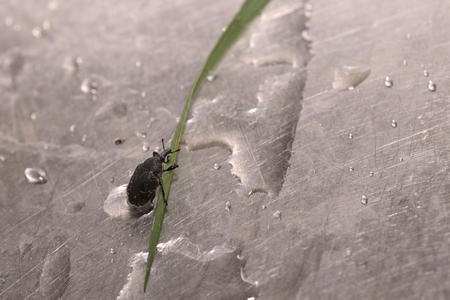 weevil: Macro shot of Larinus turbinatus, a weevil species.