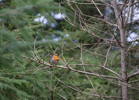 erithacus: Singing European robin (Erithacus rubecula) sitting in a tree.