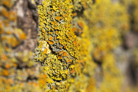 mutualism: Macro shot of the common orange lichen (Xanthoria parietina) with strong focus effect.