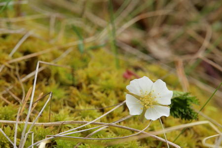 chicout�: Small cloudberry (Rubus chamaemorus) plant with blossom. Banque d'images
