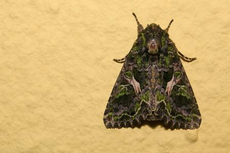 trachea: Orache Moth (Trachea atriplicis) sitting on the wall. Stock Photo