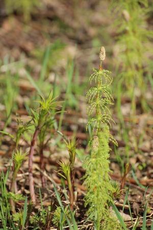 equisetum: Several wood horsetails (Equisetum sylvaticum) in the nature.