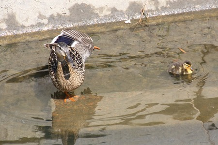 Stretching mother duck with her ducklings in water.