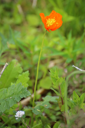 papaver: Iceland poppy (Papaver nudicaule) with a blossom.