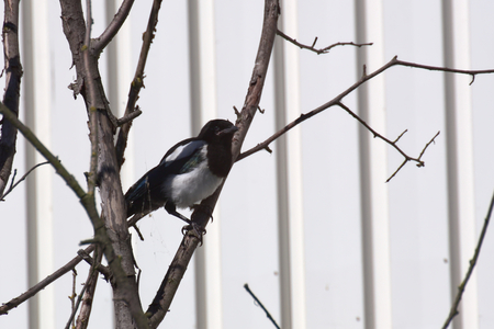 pica: Young common magpie (Pica pica) sittinh in a tree.