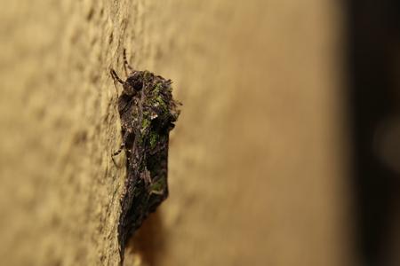 Orache Moth (Trachea atriplicis) sitting on the wall. Stock Photo