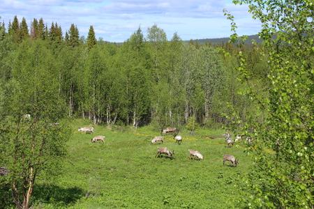 Herd of reindeers on a meadow in Sweden. Stock Photo