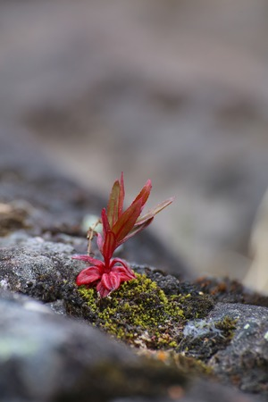 meagre: Single red plant growing on meager stone.