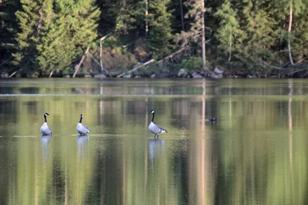 branta: Group of three Canada geese (Branta canadensis) standing in shallow water.