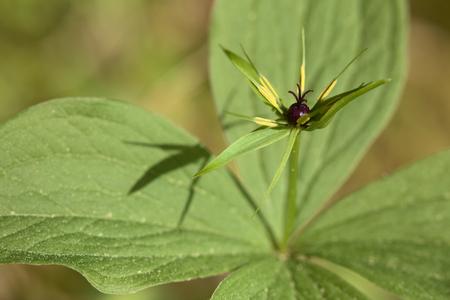 fourleaved: Blossom macro of the herb paris (Paris quadrifolia).