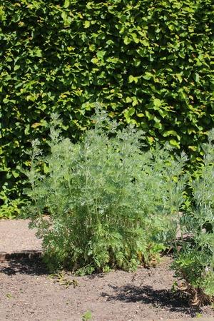 ajenjo: Artemisia absinthium (absenta) planta en un jard�n de hierbas. Foto de archivo