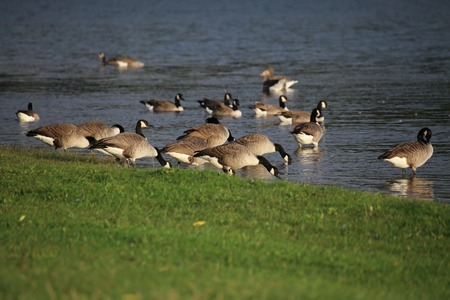 Mixed goose flock next to the water.