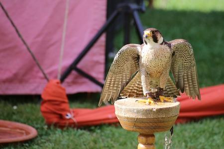falconidae: Peregrine falcon (Falco peregrinus) sitting on a wooden platform. Stock Photo