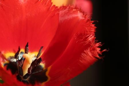 Tulip (Tulipa) cultivar with frayed petal edges.