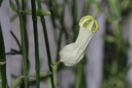 Blossom of Ceropegia ampliata, a species of lantern flowers.