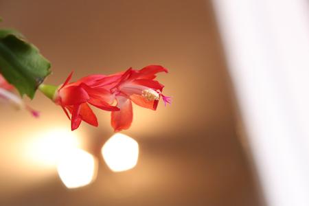 christmas cactus: Blossom of the Christmas cactus, a Schlumbergera species.