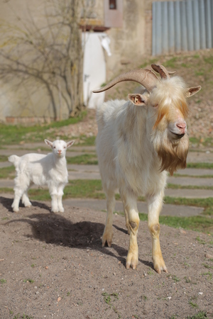 Male goat with long blonde hair and kid in background.