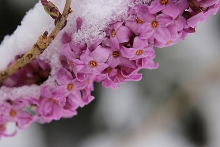 mezereum: Daphne mezereum, commonly known as February daphne, in snow. Stock Photo