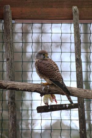 falconidae: A European kestrel (Falco tinnunculus) with dead chick.