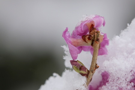 dafne: Daphne mezereum, commonly known as February daphne, back side of blossom. Archivio Fotografico