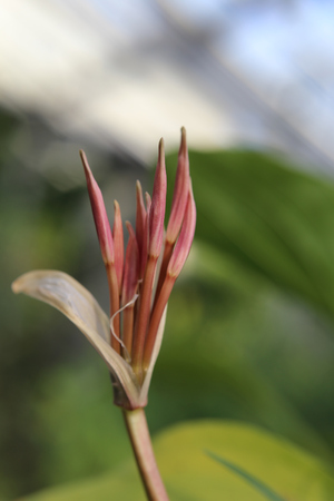 Buds of Crinum purpurascens, a plant from the family Amaryllidaceae.