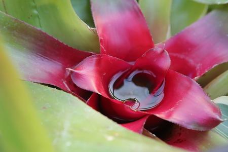 Neoregelia carolinae or Blushing Bromeliad filled with water. Stock Photo