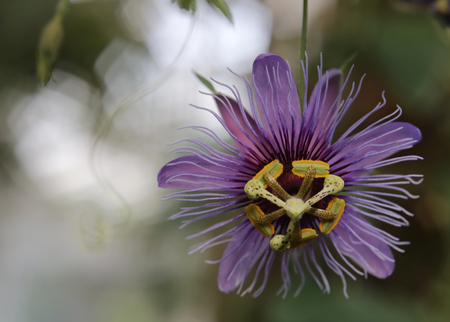 passion fruit flower: Blossom of a passion flower species (Passiflora amethystina).