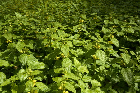 vegatation: Dense population of Lamium galeobdolon, known as yellow archangel.