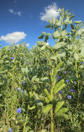Broad beans (Vicia faba) on a field.