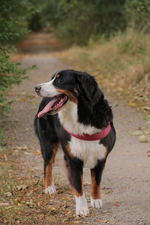 Young bernese mountain dog on a walkway.