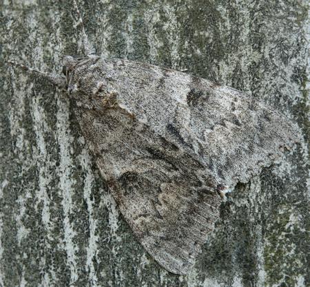 Close up of an underwing moth (genus Catocala). Stock Photo
